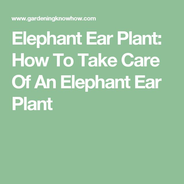 Elephant Ear Plant: How To Take Care Of An Elephant Ear Plant