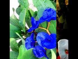Resultado de imagen para coronas de cristo azul