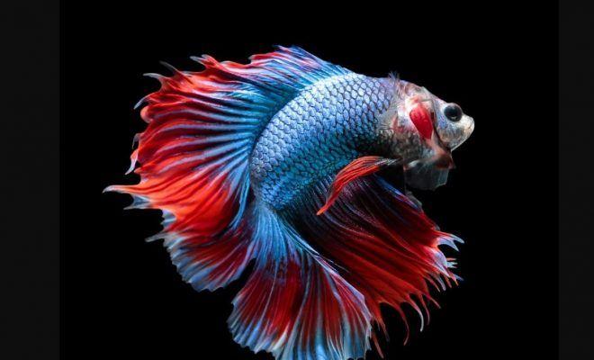 Koleksi Wallpaper Ikan Cupang Keren Background Hitam Ikan Cupang Ikan Akuarium Ikan