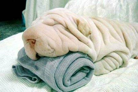 Is That A real Shar-Pei? it took me a secThoughts, Funny Pets, Puppies, Funny Dogs, Shar Pei, Sharpei, Blankets, Towels, Animal