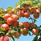 4-in-1 Apple Tree for Sale | Fast Growing Trees