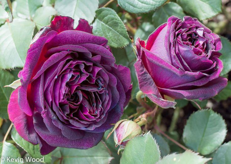 158 best images about david austin roses on pinterest. Black Bedroom Furniture Sets. Home Design Ideas
