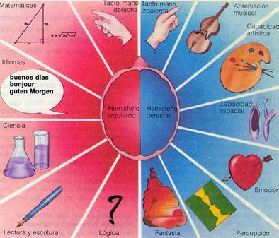 ... Hemisferios cerebrales y localización de algunas actividades o capacidades. En azul las del hemisferio derecho, que son las que predominan en los zurdos. http://www.eldiario.es/canariasahora/sociedad/zurdos-dia_internacional-preguntas-Obama-Picasso_0_291870926.html
