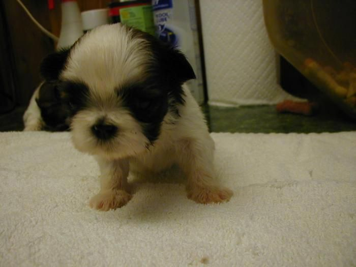 Dunhaven Kennels Maryland Dog Breeder 6 8 Pounds Full Grown