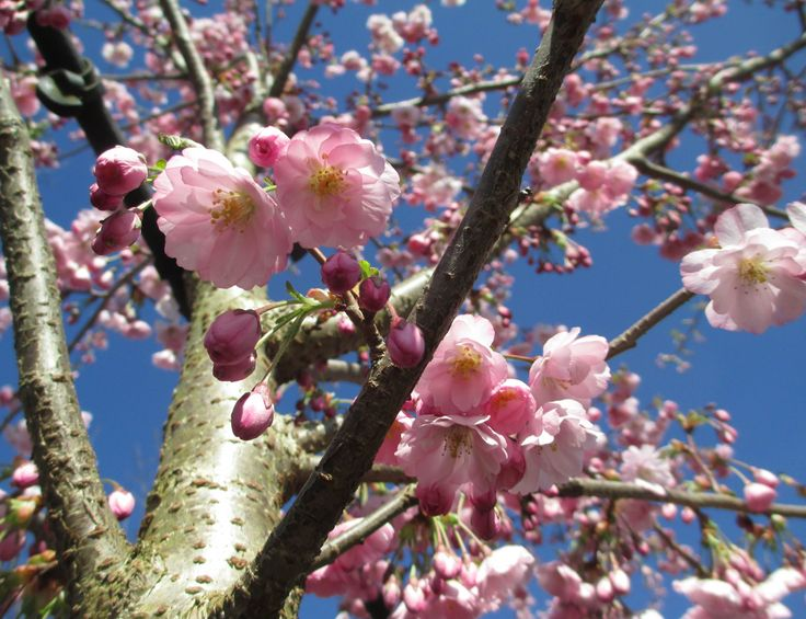 Flowering Cherry - Prunus 'Accolade' Pink, semi-double flowers, signalling the arrival of spring