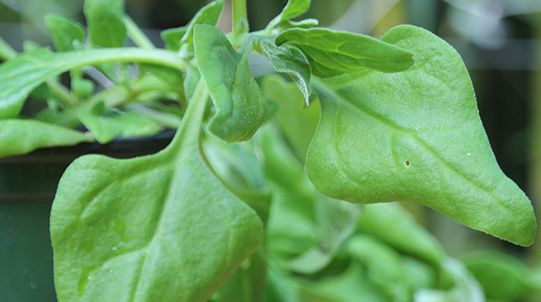 How to cook with Warrigal greens