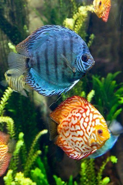 One blue, other orange fish.