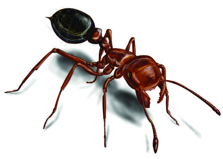 Fire Ants: Red Fire Ant Control U0026 Facts   Orkin.