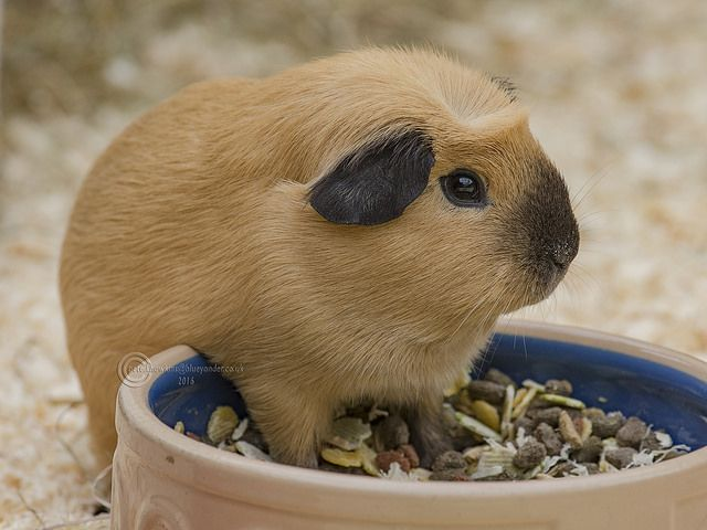 Best WAFFLE Images On Pinterest Guinea Pigs Animals And Pig - Ludwig the bald guinea pig is winning the internets hearts