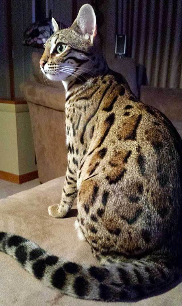 Seems this Bengal kitten needs the glasses more than his human does. This adorable kitten belongs to Anthony Cumia, an American talk radio broadcaster. Beavis is the name of Anthony\'s Bengal cat. For years listeners and friends of the show told Anthony he needed a pet inside his mansion. In ...