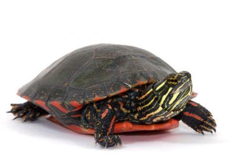 tartarughe-dacqua-specie