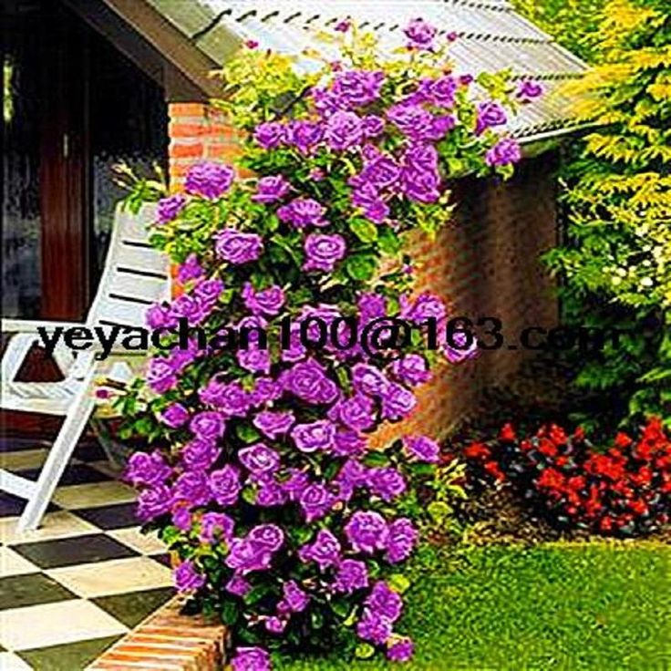 [Visit to Buy] Purple fairy garden  Climbing Roses bloom over time 200 flower seeds #Advertisement
