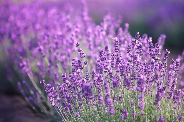 sticklingar lavendel