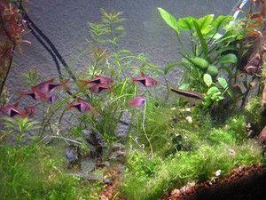 Guía para el principiante en acuarios de agua dulce (III)