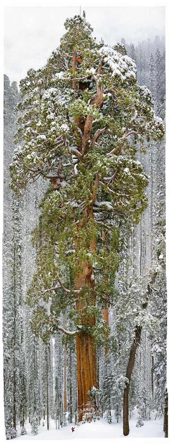 The President, Third Largest Tree in the World is now the Second Largest Tree in the World:   A team led by Humboldt State's Stephen Sillett has discovered that The President is the second-largest tree, supplanting the nearby General Grant.  The tree presides at Sequoia National Park, east of Visalia, California