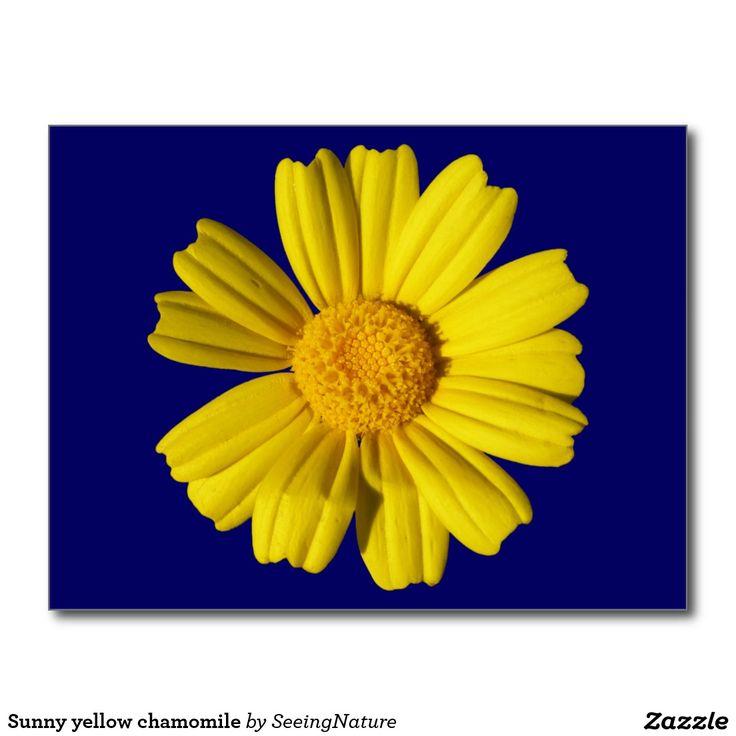 Sunny yellow chamomile postcard
