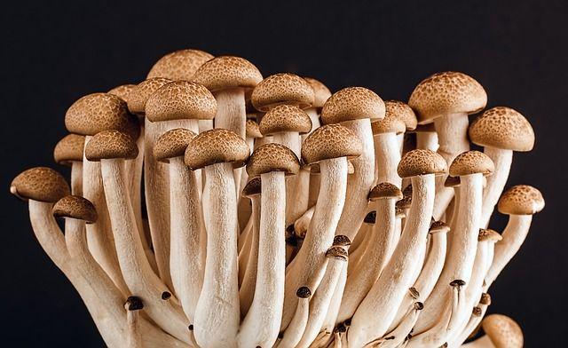 Cogumelos, quando bem preparados, são paraísos de proteína, vitamina D, fibras e minerais que estão ficando cada vez mais comuns ao paladar brasileiro. Na Europa e América do Norte já é comum o seu consumo, mas também é corriqueira a colheita de cogumelos silvestres, pois muitos são comestíveis. Cogumelos são ricos em proteínas e ainda possuem vitamina D, a qual não é encontrada em nenhuma outra fonte de origem vegetal (fungos, para dizer a verdade) e ainda assim nós conhecemos poucos por…