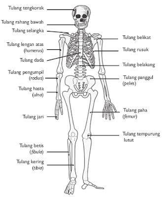 Hasil Gambar Untuk Rangka Tubuh Manusia Skeletal System Worksheet Human Skeleton Anatomy Human Skeletal System