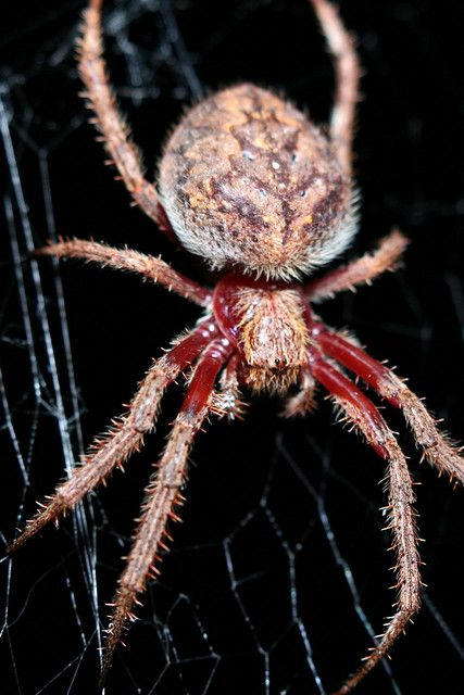 Giant Scary Spiders | Big scary spider | Flickr - Photo Sharing!