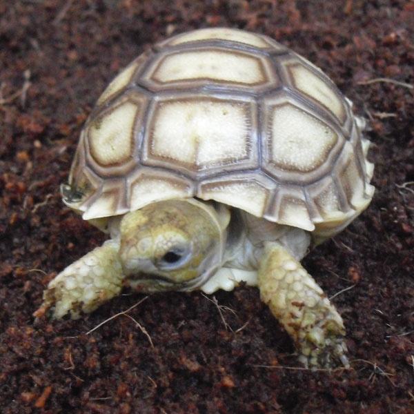 Geochelone sulcata en www.exzootica.com