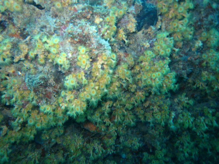 coral amarillo