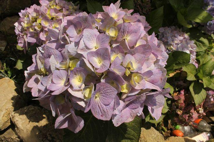 Hortensias moradas, hortensias lila, flores vintage.