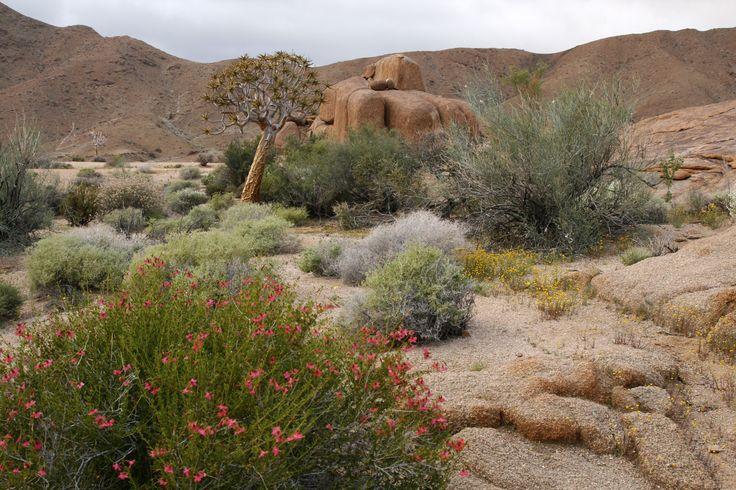 Desert flowers at Kokerboomkloof, Richtersveld