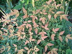 Nandina domestica BotGardBln1105Leaves.JPG
