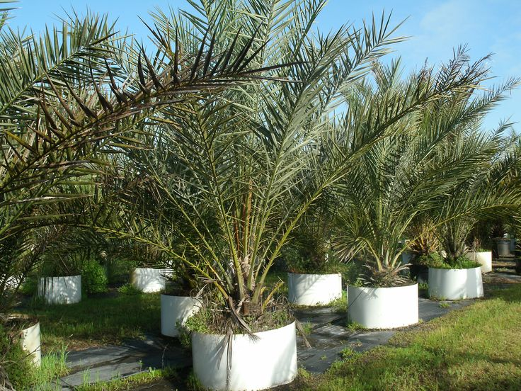 Buy medjool date palm trees california florida texas 65 for Purchase trees