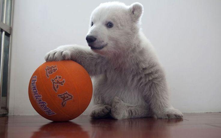 this is a polar bear with a basketball.: Basketball Players, Ball Quirky, 100 Day Birthday, Polar Bears, It S Bearable, Bear Cubs, Da Bears, Bear Ball