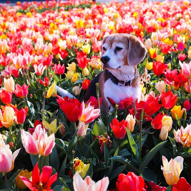 What tulips??