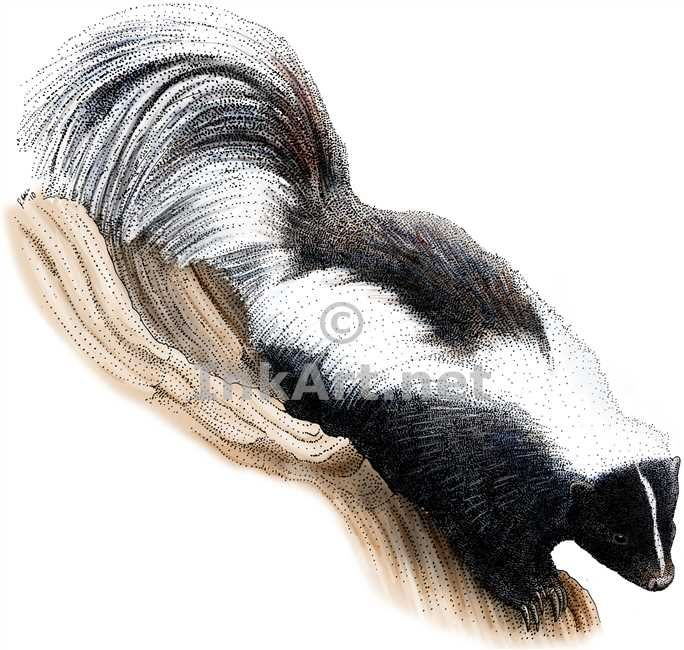 Fine Art Illustration of a Striped Skunk