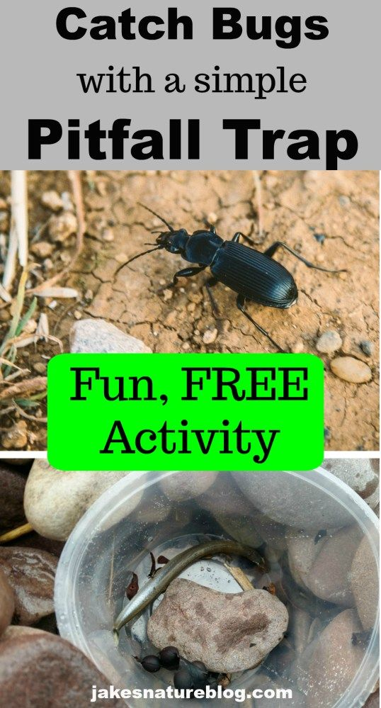 Catch Bugs With A Simple Pitfall Trap Beginner Naturalist Fun