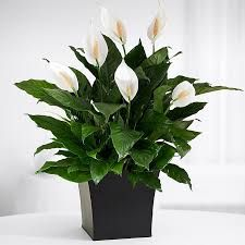 Where To Buy Indoor Plants,  http://www.classifiedads.com/office_business/26z6hk1xjc4x  Indoor Plants,House Plants,Plants For Sale,Potted Plants,Indoor House Plants,Buy Plants Online