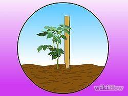 Stake Tomato Plants Step 2.jpg