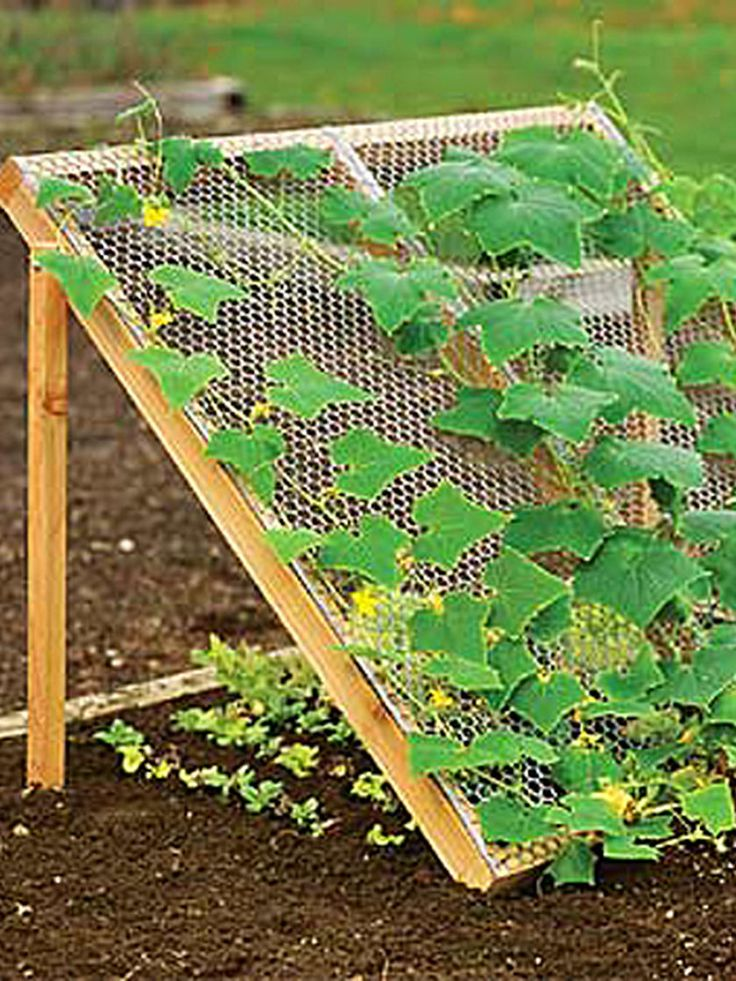 Discover Companion Planting with this Cucumber Trellis Cucumbers like it hot. Lettuce likes it cool and shady. But with this trellis, they're perfect companions! Use this slanted trellis to grow your cucumbers and you'll enjoy loads of straight, unblemished fruit. Plant lettuce, mesclun or spinach in the shady area beneath to protect it from wilting or bolting.
