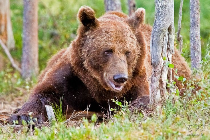 Or a brown bear. | 56 Reasons You Should Move To Finland Immediately