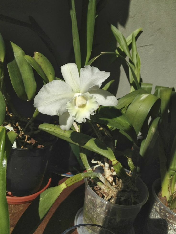 Cattleya Orchid  personal collection