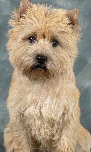 Cairn Terrier.. he looks so similar to my very first childhood dog.. Butchie