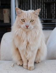 Ranger is an adoptable Norwegian Forest Cat Cat in Palmdale, CA. Some people say I look like a lion and I take that as a compliment because I do think that I'm a tad on the handsome side, if I do say ...