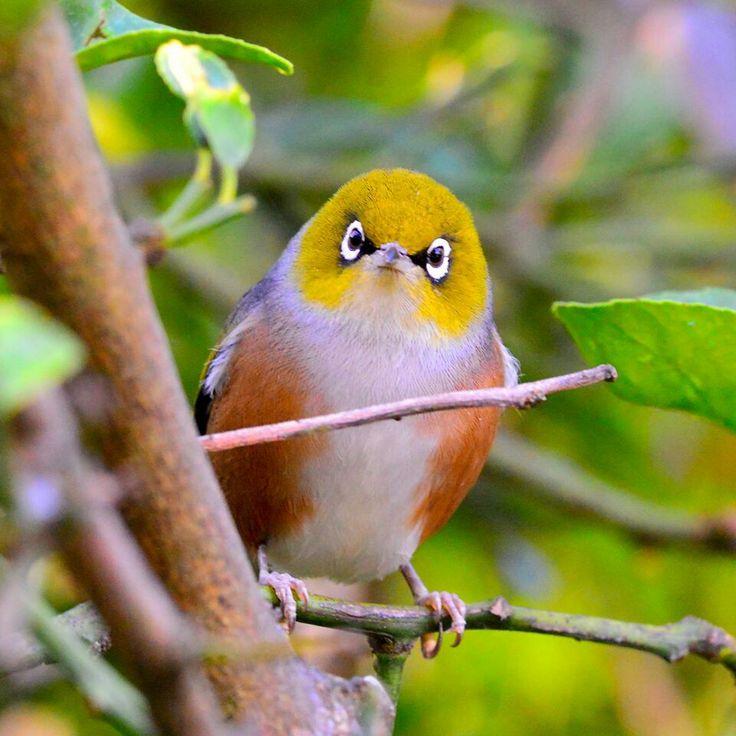 Love New Zealand birds.....Tauhou (Silvereye)