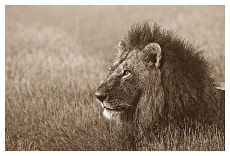 male lion portrait in sepia
