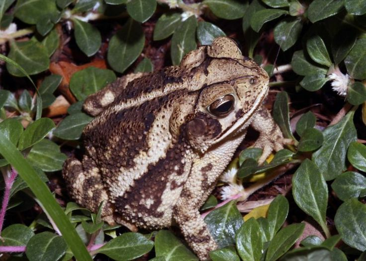 San Antonio River Authority - Coastal Plains Toads, common in San Antonio and Austin yards.