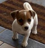 cute mini jack russell puppies - Yahoo Image Search Results