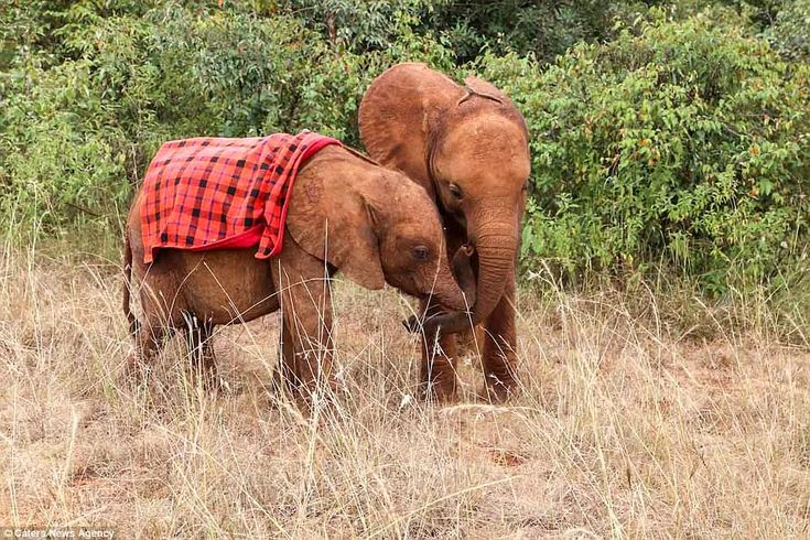 On the mend:Mbegu found a new home with the David Sheldrick Wildlife Trust (DSWT) Nursery in Nairobi National Park