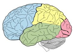 Frontal Lobe: one of the four major lobes of the cerebral cortex in the brain of mammals; located at the front of each cerebral hemisphere, anterior to the parietal lobe; contains most of the dopamine-sensitive neurons in the cerebral cortex; the dopamine system is associated with reward, attention, short-term memory tasks, planning, motivation; dopamine tends to limit and select sensory information arriving from the thalamus to the fore-brain