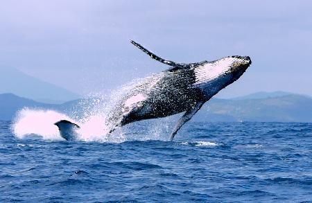cyberaction : contre la délivrance de tout nouveau permis de chasse à la baleine scientifique