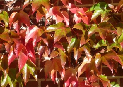 Herfst klimop, autumn ivy.  http://www.kaartje2go.nl/kaartencollecties/creagaat---herfst?sk_id=161