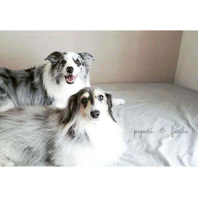 #ボーダーコリー #ボーダーコリーブルーマール #ブルーマール #ブルーマールボーダーコリー #ミニチュアダックス #ミニチュアダックスフンド #シルバーダップル #愛犬 #家族 #フリル #ポプリ #bordercollie #bordercolliebluemerle #bluemerle #bluemerlebordercollie #dachshund #miniaturedachshund #silverdapple #dogs #dog