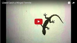 ALL TO MY SITE: Lizard Catch a Winged Termite common house gecko